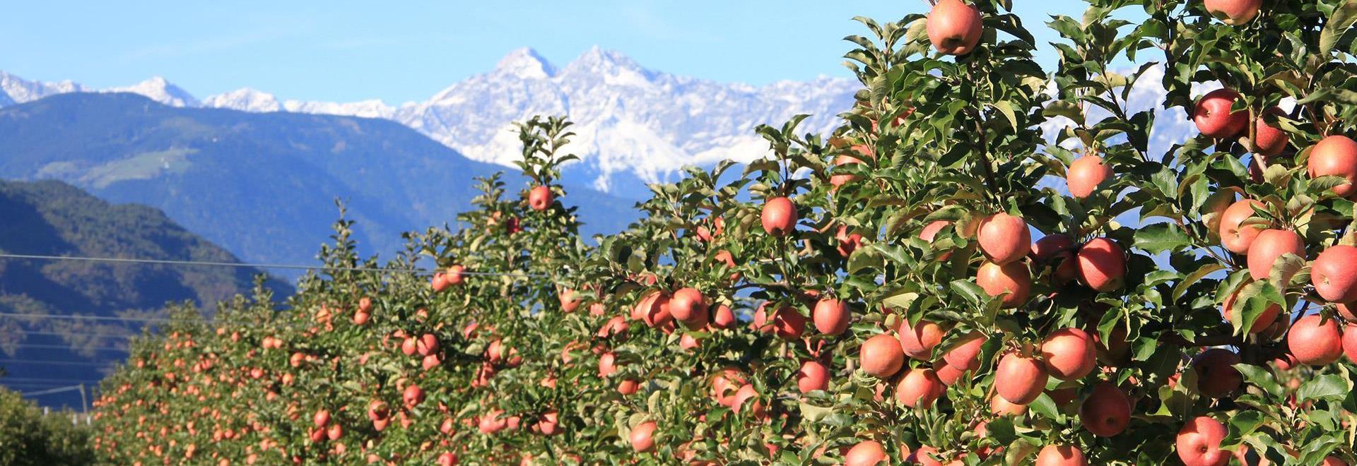 Apfelernte in Meran Apfel